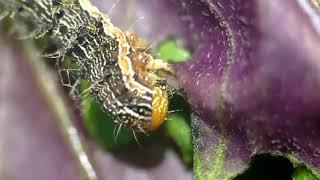 Cabbage Armyworm Eats Okinawan Spinach ヨトウガ(蛾)の幼虫がスイゼンジナの葉を蚕食