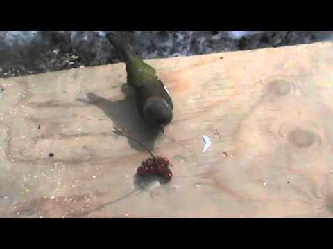 Видео: Пахом пьяная птичка курлык
