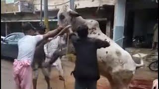 Khatarnak Bull \u0026 Professional Qassai