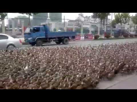 download Taizhou farmer takes 5,000 ducks for a walk | That's Mags