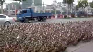 Taizhou farmer takes 5,000 ducks for a walk | That's Mags