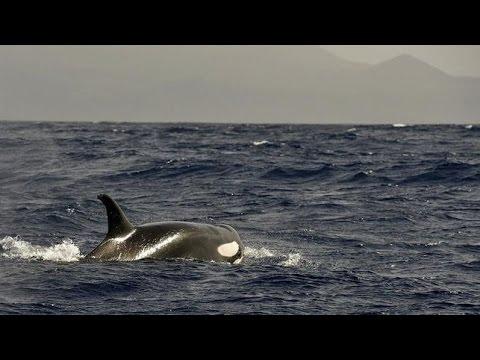 Orcas Tenerife Canary Islands