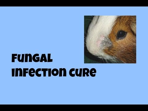 Image Result For Guinea Pig Fungal Infection