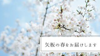 矢板の桜が満開になりました