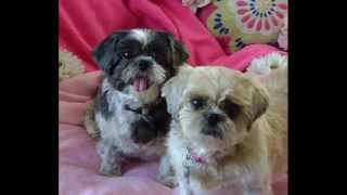 New Beginnings Shih Tzu Rescue~annie & Shelby