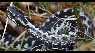 Не злите ядовитую змею 4К