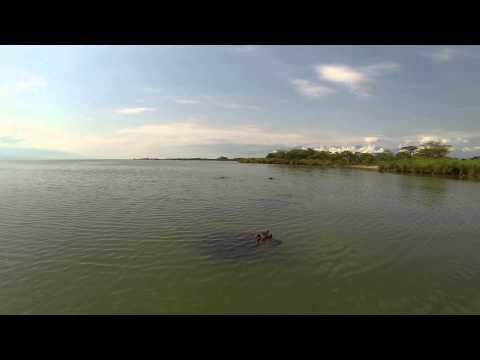 Hippos of lake Tanganyika Burundi