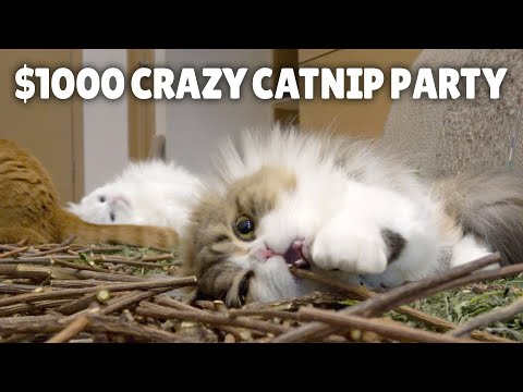 $1000 Crazy Catnip Party!ㅣKittisaurus