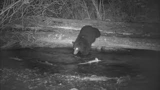 Медведь на ночной рыбалке!