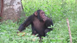 Young chimps play a game of 'who's dominant?' over a jackfruit!