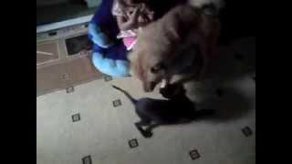 Чау чау и щенок питбуля)