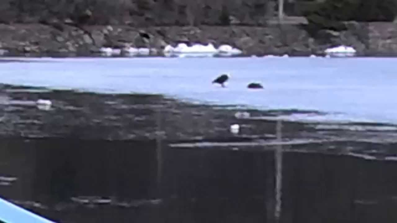 Canada Goose langford parka online shop - Bald Eagle vs. Canadian Goose Part 1 - YouTube