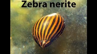 Zebra nerites are eaceful, small and efficient, and are an excellen...