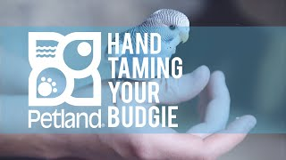 Petland Pet Tip on Hand Taming Your Budgie with Robert Church