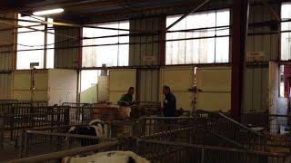 Au marché aux veaux, on négocie ferme