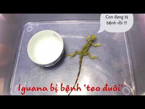 Iguana : hành trình chữa bệnh teo đuôi cho rồng Nam Mỹ con | iguana digestive disorder | Tuấn's pets