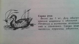 Серая утка - Описание и места обитания