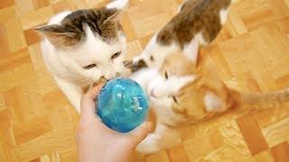 エサ入りおもちゃに興奮が収まらない猫たち