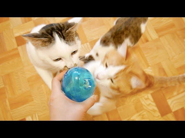 ダイソーの餌が出てくるオモチャに大興奮の猫