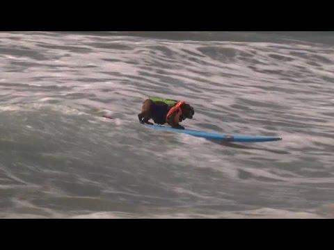 California, tutti pazzi per il 'Surf City Surf Dog'
