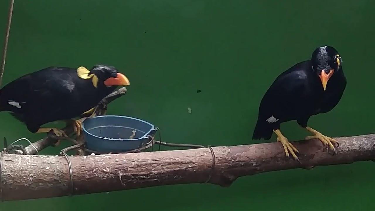 Sepasang Burung Beo Nias Youtube