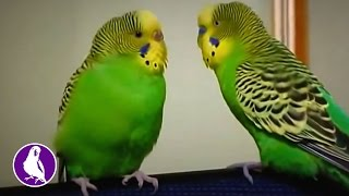 Говорящий волнистый попугай разговаривает со своей подругой