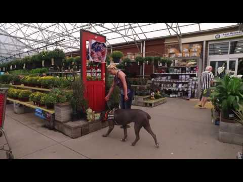 """Cane Corso """"Bella"""" l Incredible Transformation l Dog Trainers Hampton Roads VA"""