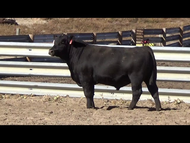 Connealy Angus Lot 75