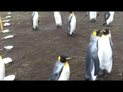 Penguins at Volunteer Point Falkland /Malvinas Islands