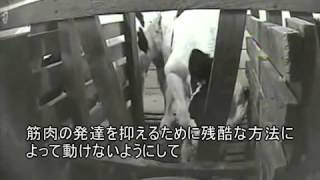 Repeat youtube video 子牛の虐待オハイオの農場
