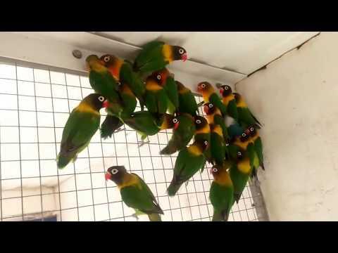 Koleksi Lovebird Biola Paskun, Lutino, Batman, Violet, Olive, Cobalt ( Import )