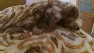 Самая ласковая порода кошек.
