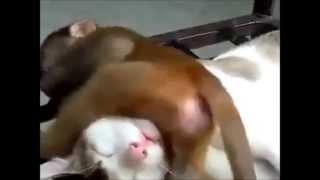 Смешные животные Обезьянка не дает спать кошке