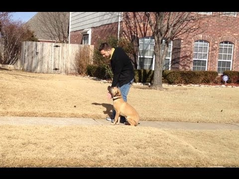 Bear Golden Retriever Mastiff Mix Dog Boarding Tulsa Youtube