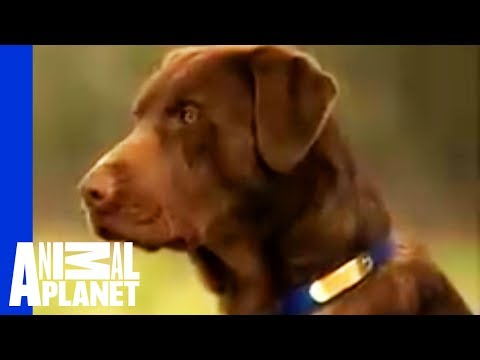 Labrador Retriever | Dogs 101