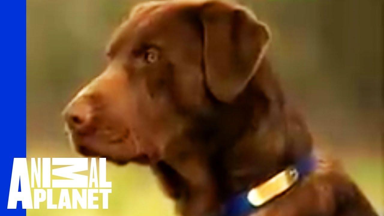 Labrador Retriever Dogs 101