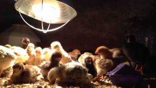 Homestead Critter Cinema: A Real Chick Flick