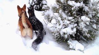 Собака выгуливает кота. Корги Ия и мейн-кун Галиаф