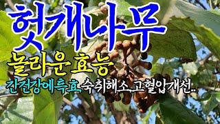 ☞헛개나무(열매,잎,가지)의 놀라운 효능【간에 특효~!…