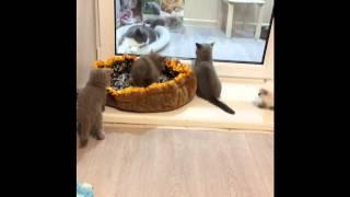 Британские котята, жизнь котят в питомнике House Arletta British