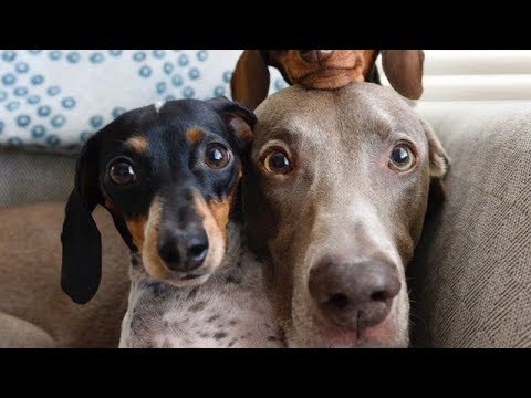 READY to LAUGH? FUNNIEST DOG compilation EVER - Funny DOG compilation