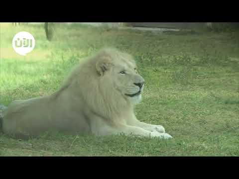 شاهد الحيوانات المتنوعة في دبي سفاري في بيئة تشابه بيئتهم الأصلية!  - نشر قبل 3 ساعة