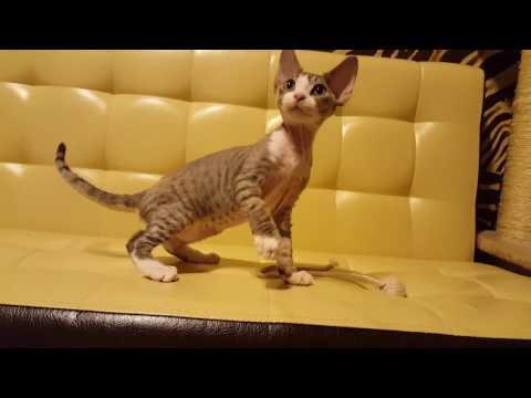 Kittens breed Devon rex. Cattery Tenderling. Briana.