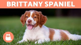 BRITTANY SPANIEL  Characteristics and Care