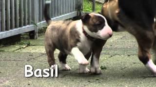 New Born Puppies From Friar's Point Mini Bull Terrier Resimi