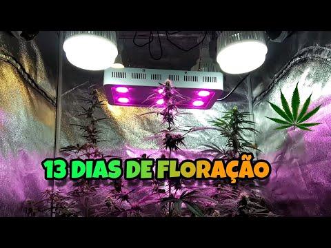 UPDATE - 13 DIAS DE FLORAÇÃO ( CULTIVO INDOOR DE CANNABIS SATIVA ) - GUIA DE CULTIVO