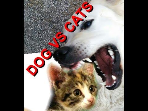 Cosa accade nella cuccia? Golden retriever, dog VS cats, unbelivable what's happend in dog's bed!