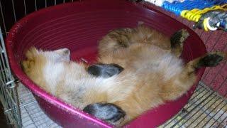 Весёлый лис Тор. Funny pet fox Thor