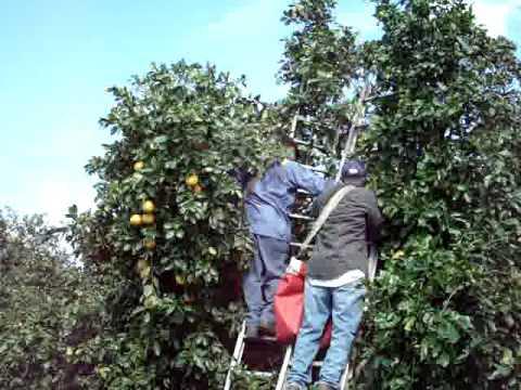 Ladder harvesting of Citrus