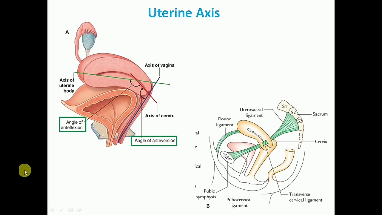 Anatomy Of The Uterus Part 2 Supports Of Uterus By Dr Mitesh